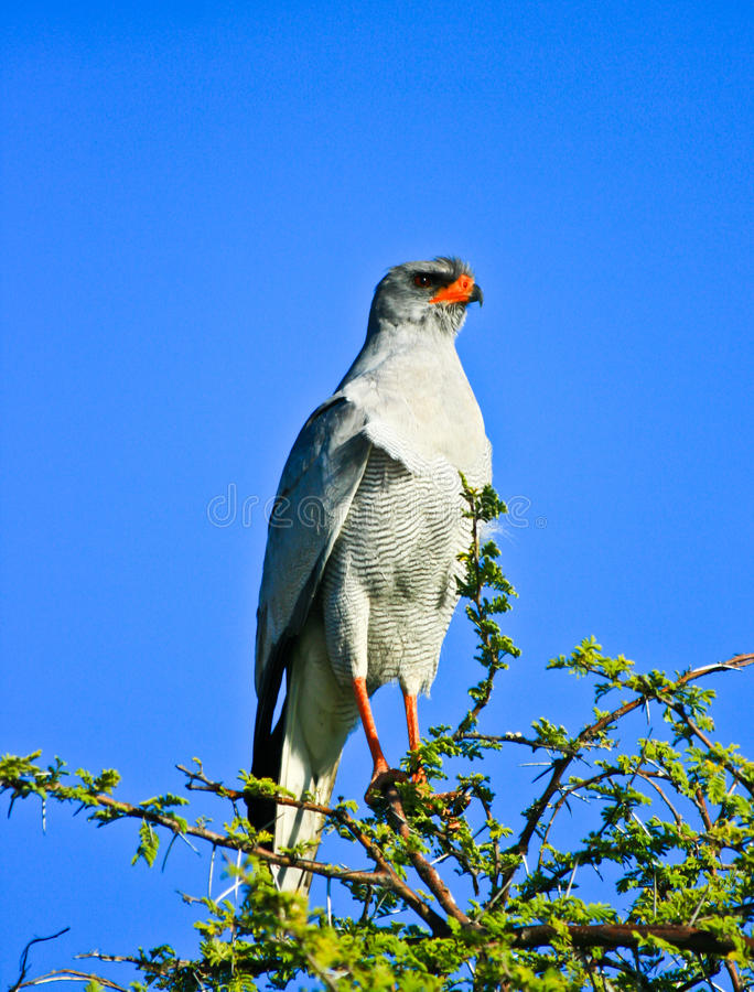 Download Pale chanting goshawk stock photo. Image of claw, aerial - 28353360