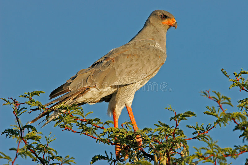 Download Pale Chanting goshawk stock image. Image of raptor, colourful - 947633