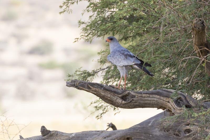 Pale Chanting Goshawk, canorus de Melierax, empoleirado no ramo, parque internacional de Kgalagadi fotos de stock