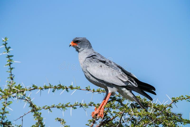 Pale Chanting Goshawk dans l'arbre photographie stock libre de droits