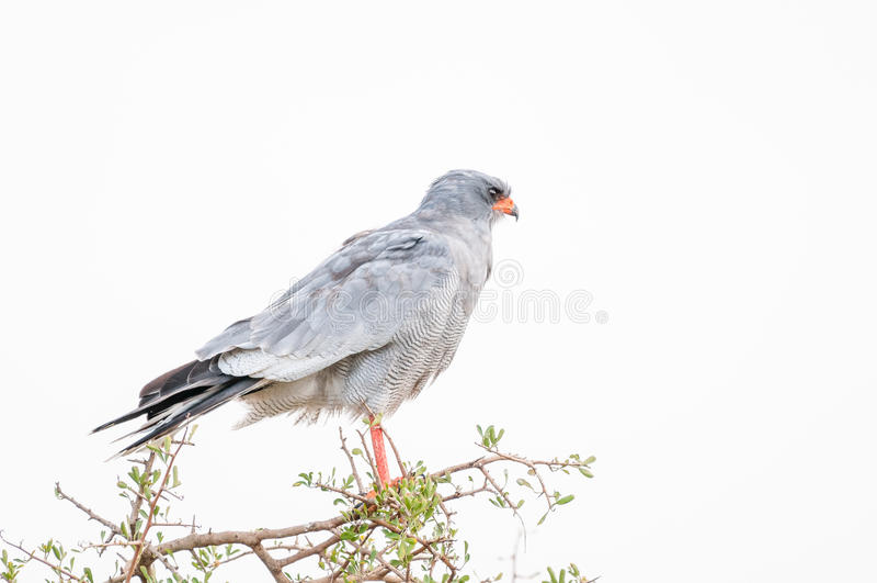 Pale Chanting Goshawk do sul fotografia de stock