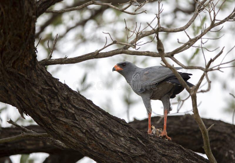 Pale Chanting Goshawk que alimenta em um pássaro pequeno foto de stock