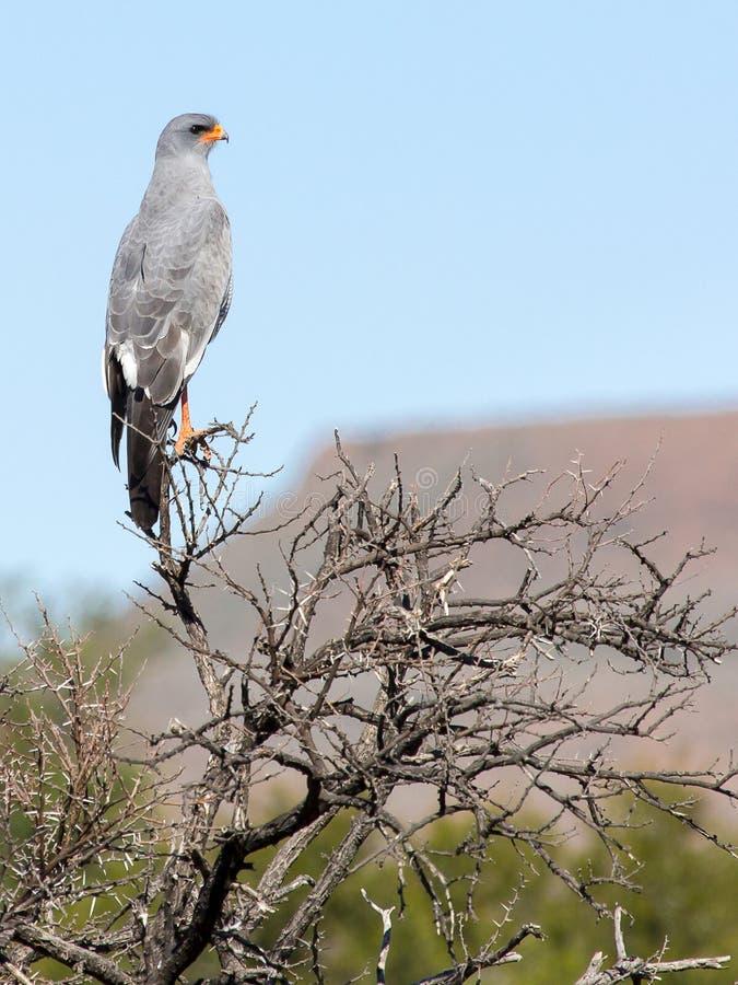 Pale Chanting Goshawk strijkt in het Nationale Park van Karoo neer dichtbij Beaufort-het Westen in Zuid-Afrika royalty-vrije stock afbeeldingen