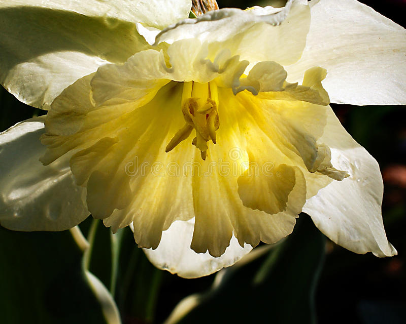 Pale Daffodil photographie stock