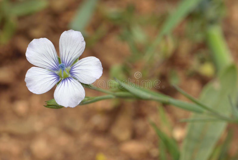 Pale Flax photographie stock