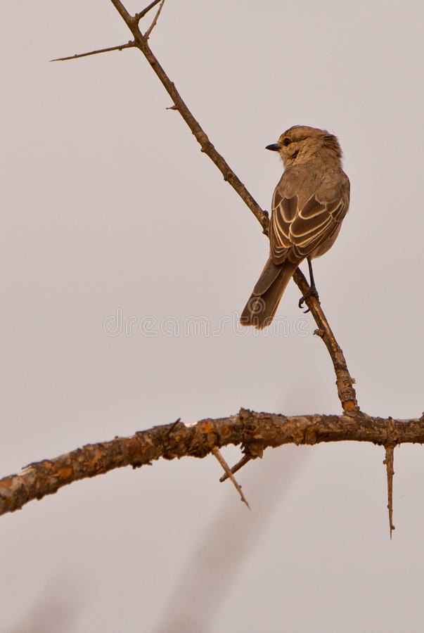 Download A Pale Flycatcher stock photo. Image of equatorial, distinctive - 24040212