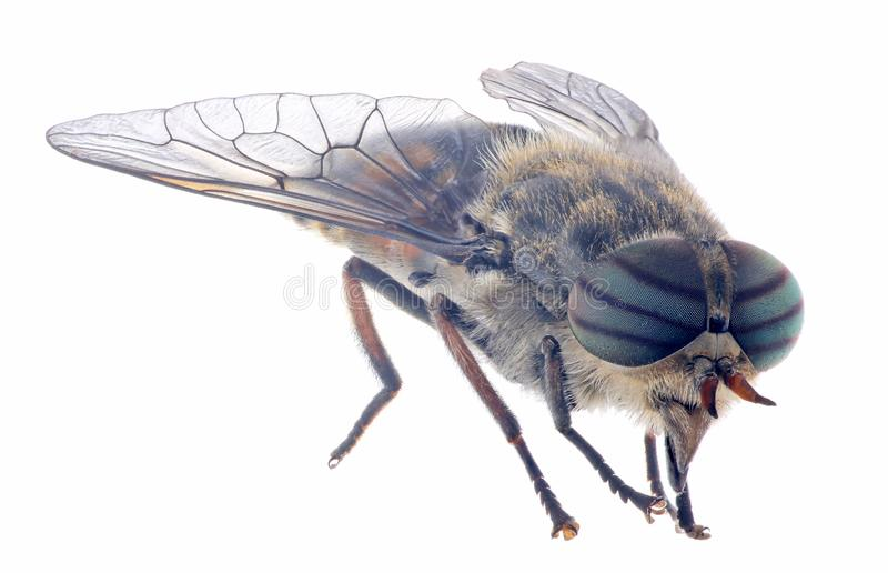 Pale giant horse-fly on white background stock photos