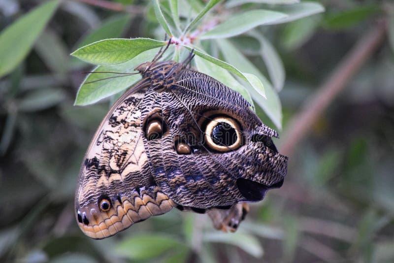 Pale Giant Owl è una farfalla insolita fotografia stock