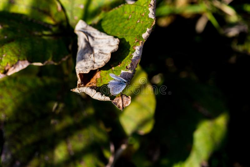 Pale Grass Blue Butterfly sur une feuille photos stock
