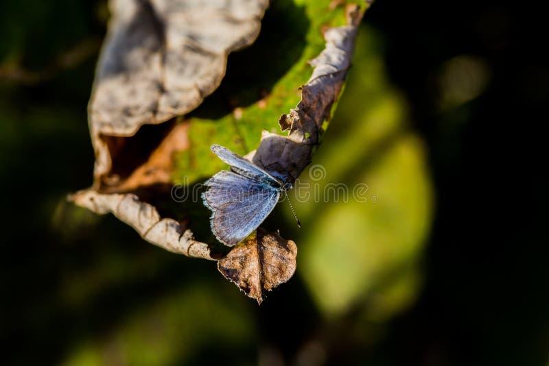 Pale Grass Blue Butterfly sur une feuille 2 images stock