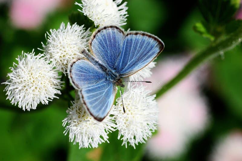 Pale Grass Blue. (Pseudozizeeria maha),Japan name is Yamato-sijimi stock photography