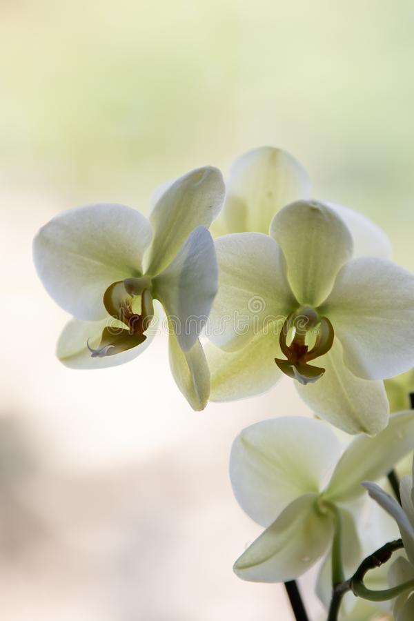 Pale green orchids on pale background stock image