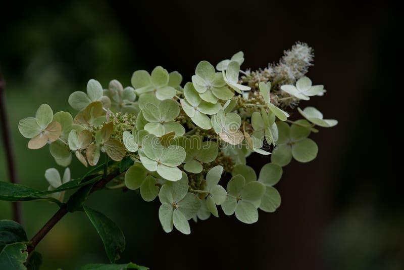 Pale Hydrangea stock afbeeldingen