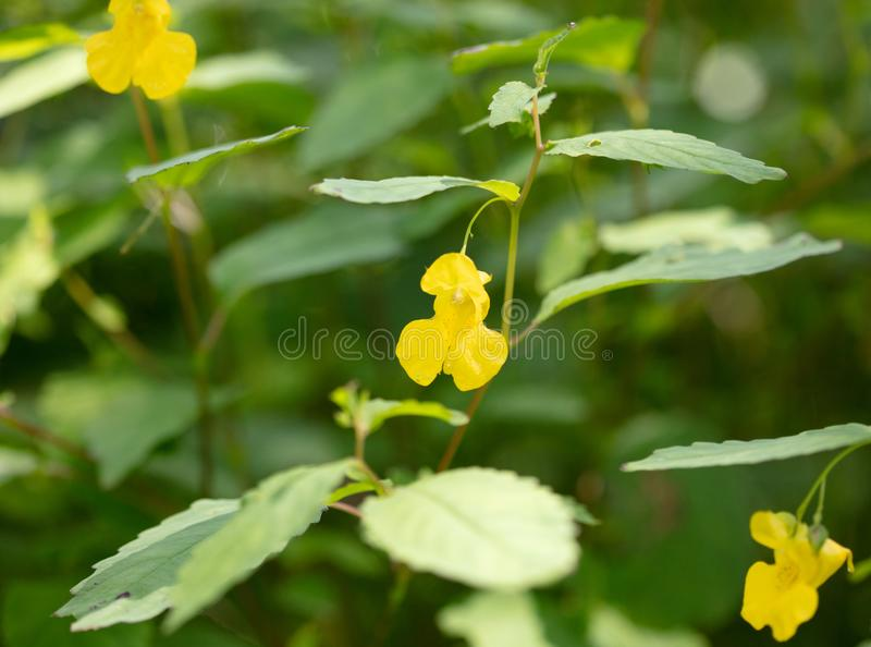 Pale Jewelweed Blossom fotografie stock