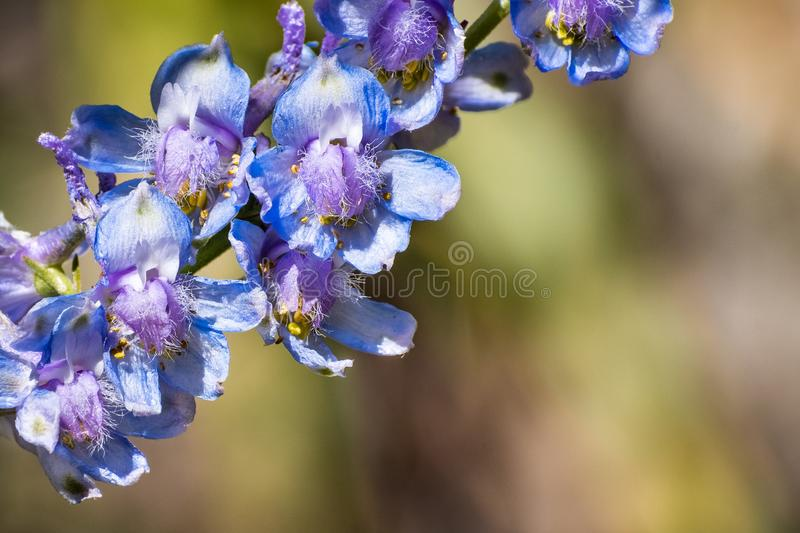 Pale larkspur Delphinium hansenii wildflowers blooming in Yosemite National Park, Sierra Nevada mountains, California royalty free stock photos