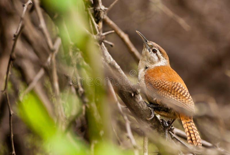 Pale-legged Hornero Bird Royalty Free Stock Photography