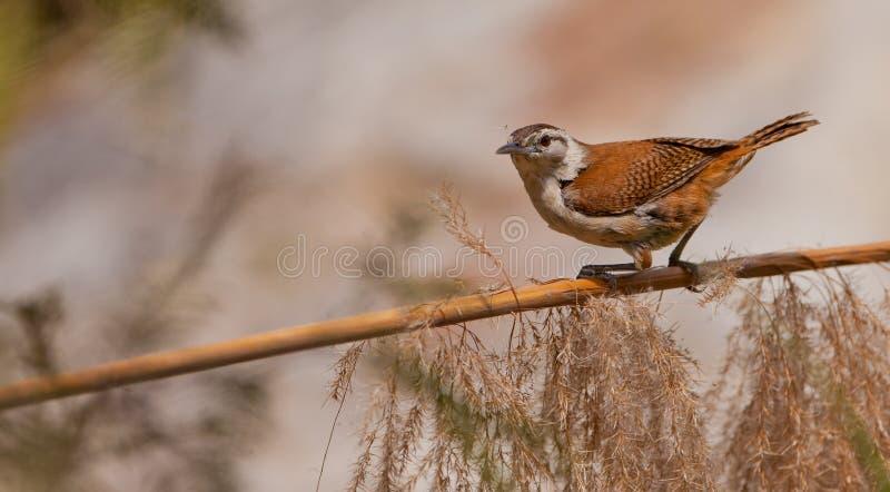 Pale-legged Hornero bird on stick
