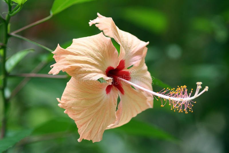 Pale Orange Hibiscus Royalty Free Stock Photos