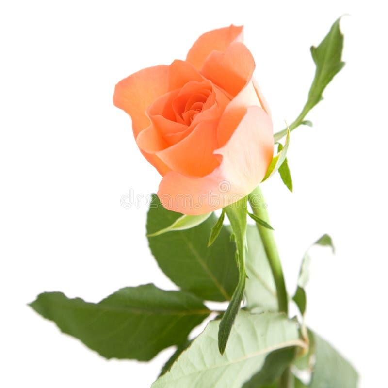 Download Pale orange rose stock image. Image of close, leaves - 15085891