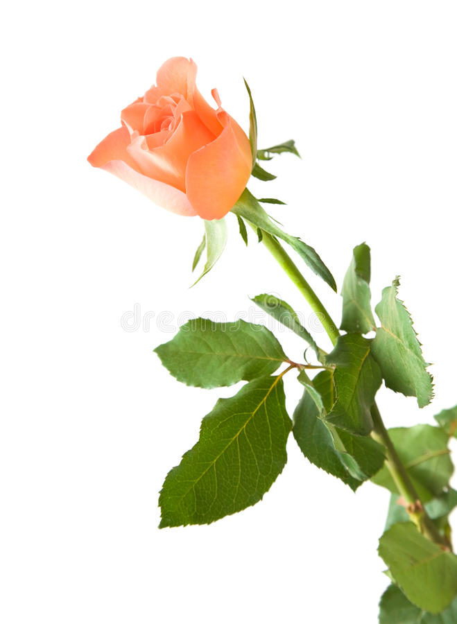 Download Pale Orange Rose Royalty Free Stock Images - Image: 15085899