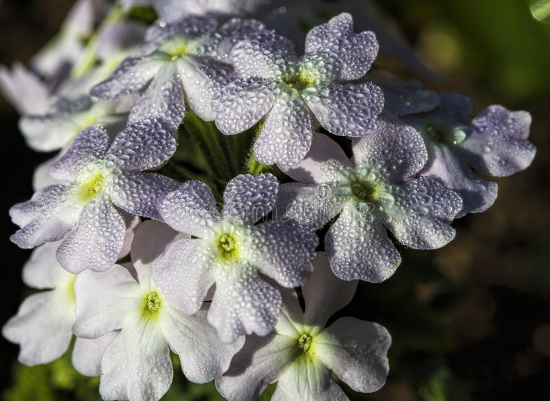 Pale Pastel Lavender Verbena Covered com orvalho fotografia de stock
