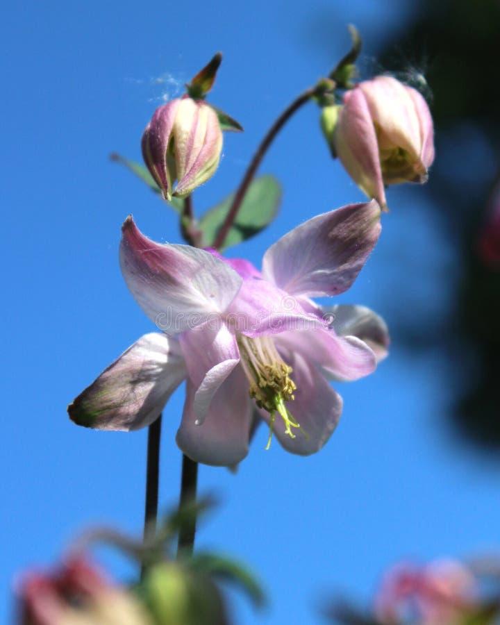 Pale Pink Aquilegia Flowers fotos de archivo