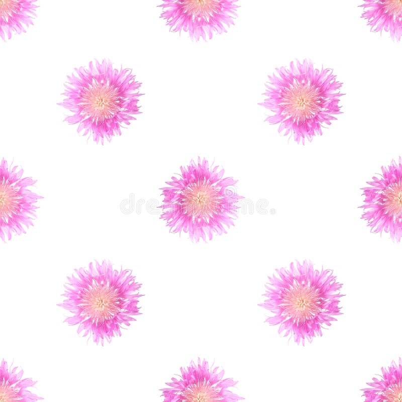 Pale pink big cornflowers on a white isolated background. Seamless pattern royalty free stock image