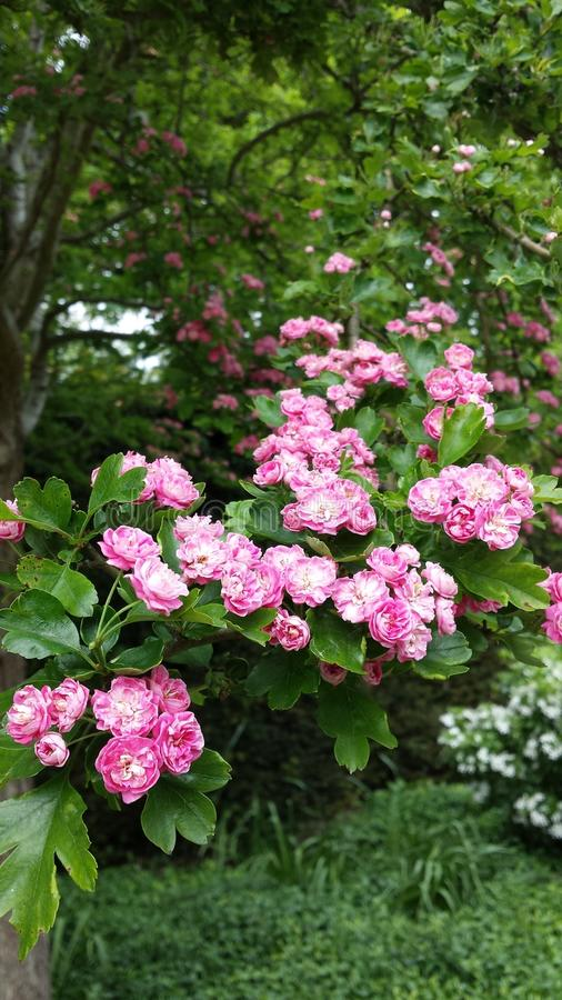 Pale pink blossoms royalty free stock image