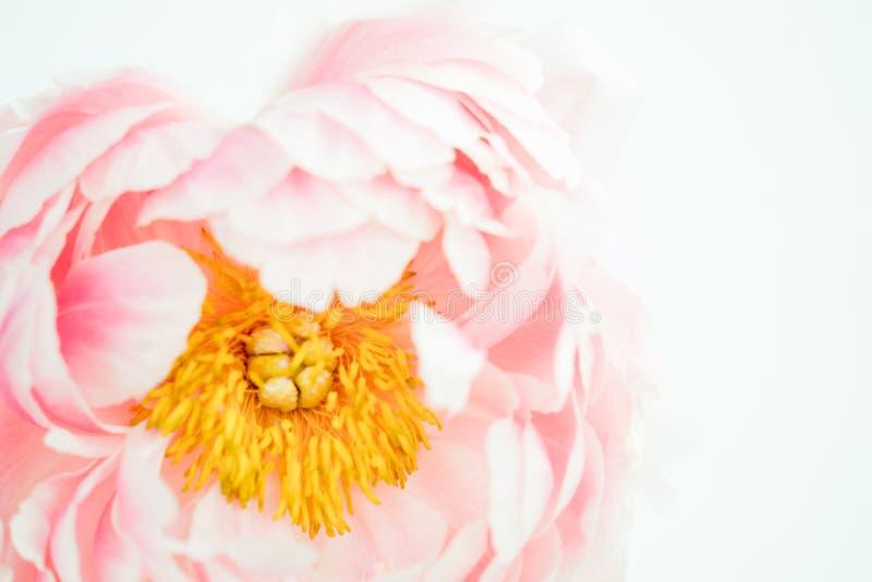Pale Pink Blush Peony Flower-Close-up stock afbeeldingen