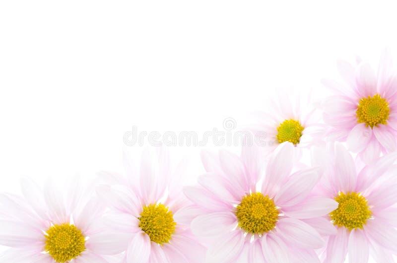 Pale pink chrysanthemum