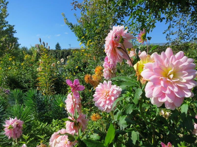 Pale Pink Dahlias som blommar i Giverny Frankrike arkivbilder