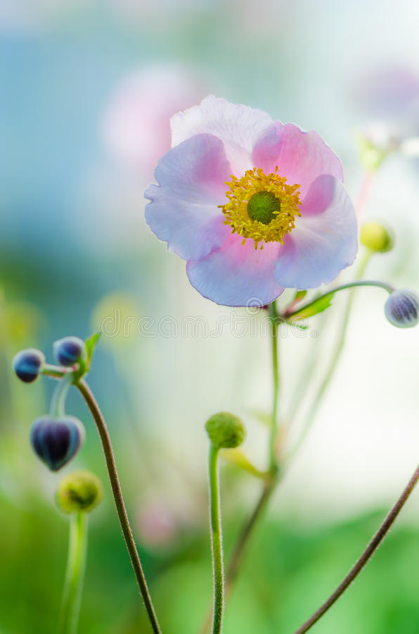 Free Pale Pink Flower Japanese Anemone, Close-up Stock Photography - 78249412