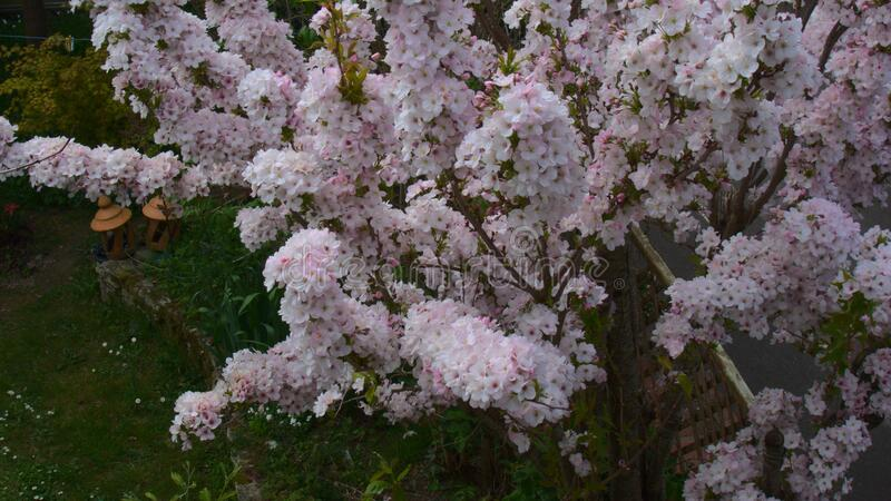 Pale pink flowers on branches of prunus amanogawain april in the garden, blossoms, blooms in spring, flowering tree, background. Pale pink flowers on branches of royalty free stock images