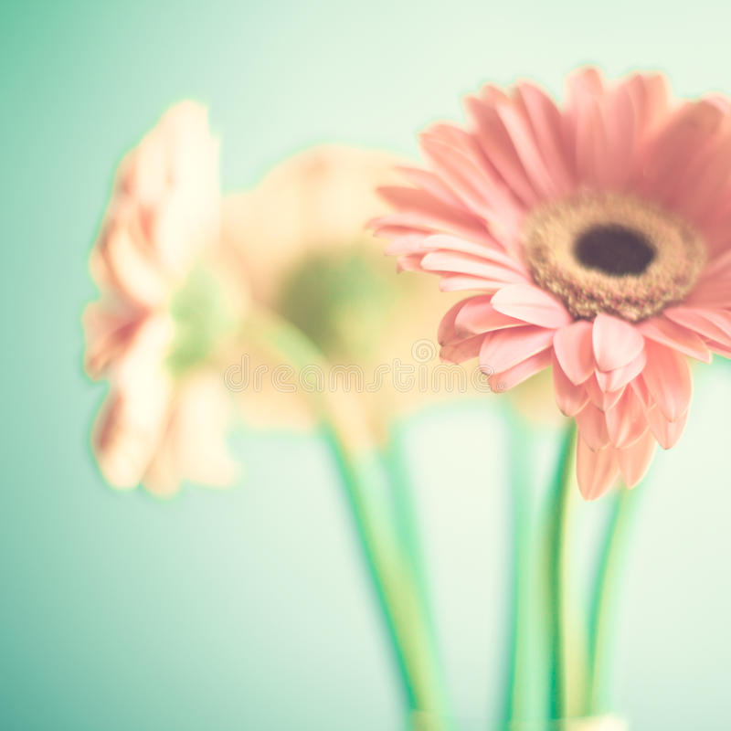 Pale Pink flowers. Three pale pink flowers over turquoise blue background royalty free stock image