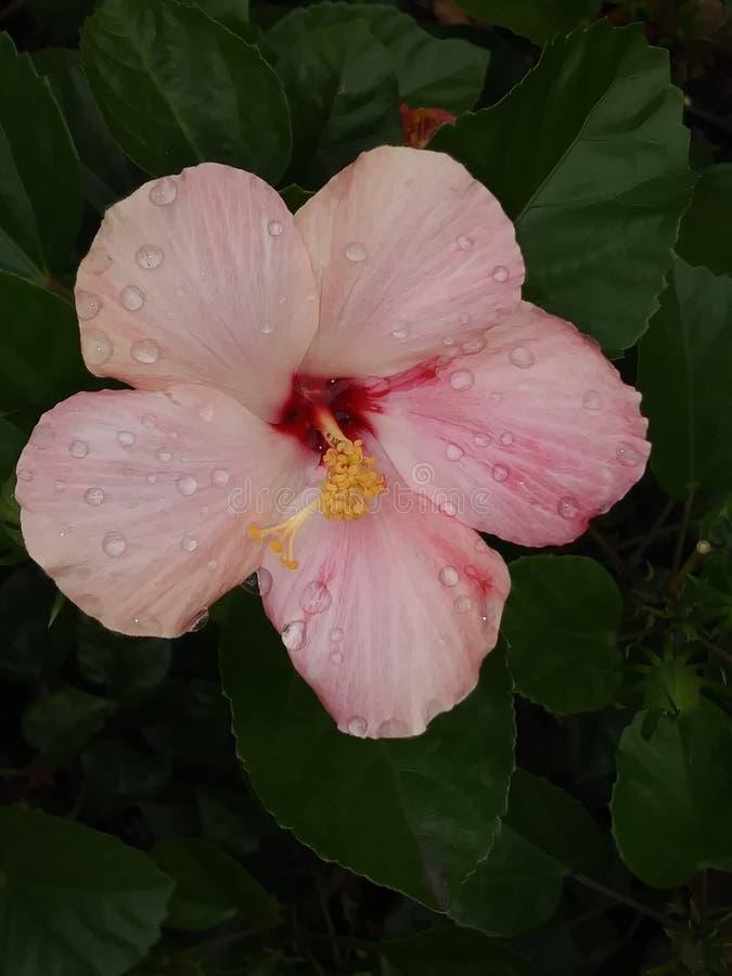 Pale Pink Hibiscus met Regendruppels stock afbeelding