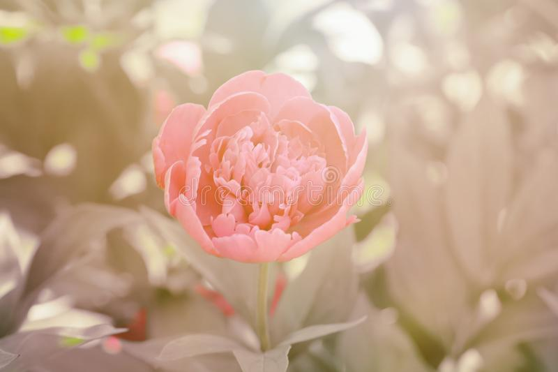 Pale pink peony. In the garden stock photography