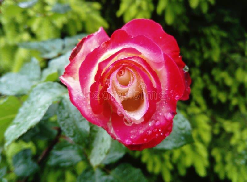 Carrousel rose after rain stock photography