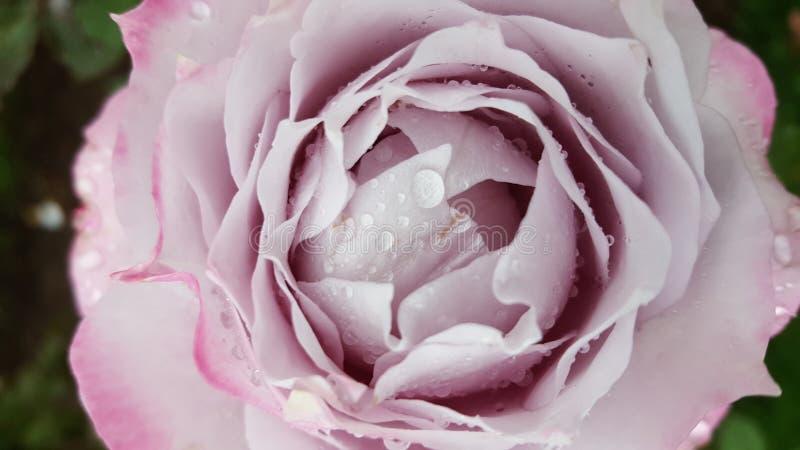 Pale Pink Rose 2 fotos de archivo