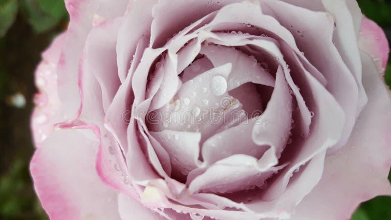 Pale Pink Rose 3 imágenes de archivo libres de regalías