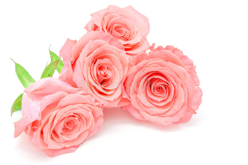 Pale pink rose stock images