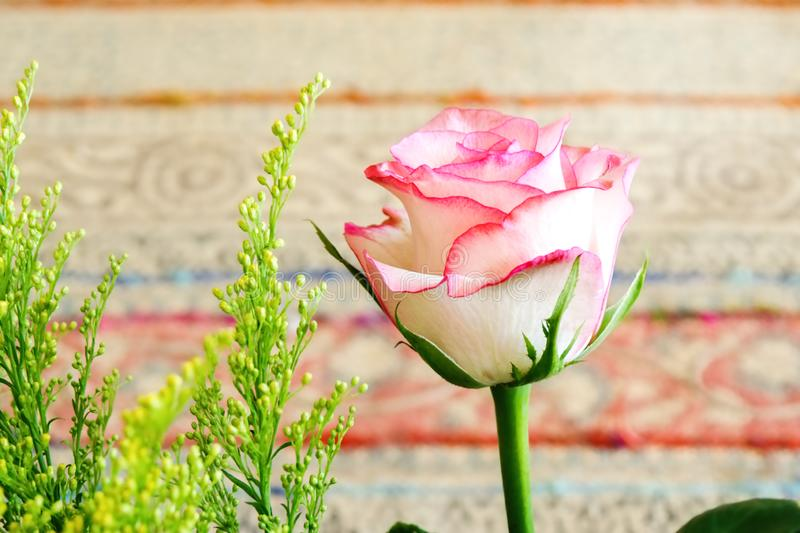 A pale pink rose with scarlet edges in close-up stock photos
