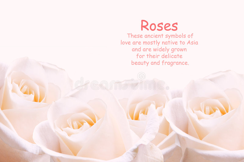 Pale pink roses. royalty free stock images