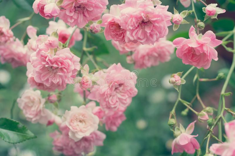 Beautiful, pale pink roses close up. Pale pink roses close up in the garden summertime royalty free stock photos