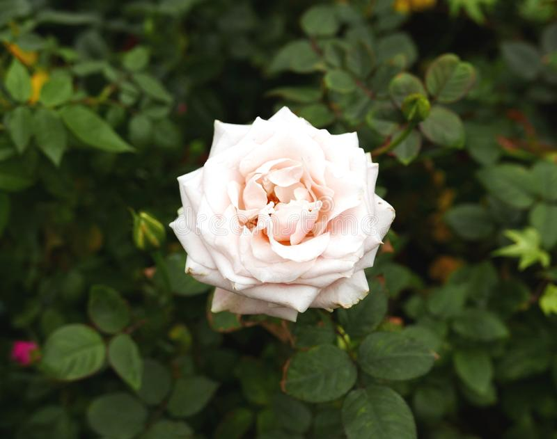 Pale Pink Wild Rose Flowers mit leuchtender Form stockbild