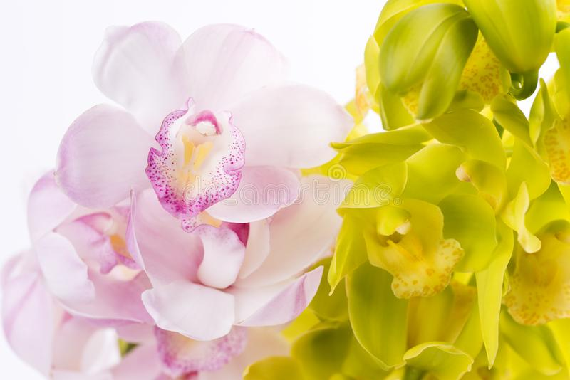 Two colors of orchid flowers royalty free stock photo