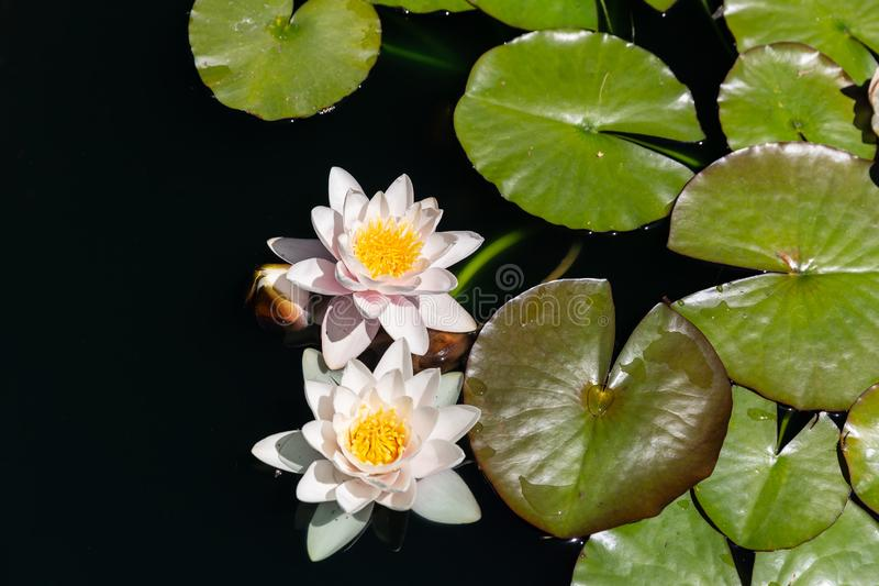 Pale pink with yellow Waterlily with dark green leaves on black water background.  stock photo