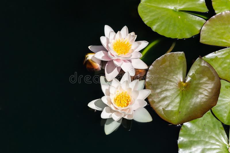 Pale pink with yellow Waterlily with dark green leaves on black water background.  royalty free stock image