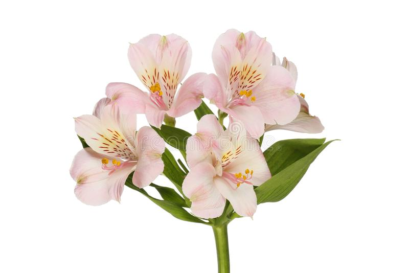 Pale purple alstroemeria flowers. Isolated against white stock photography