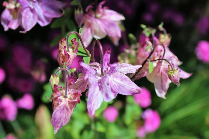 Pale purple columbine flowers. Bloom in the early summer sunshine royalty free stock images