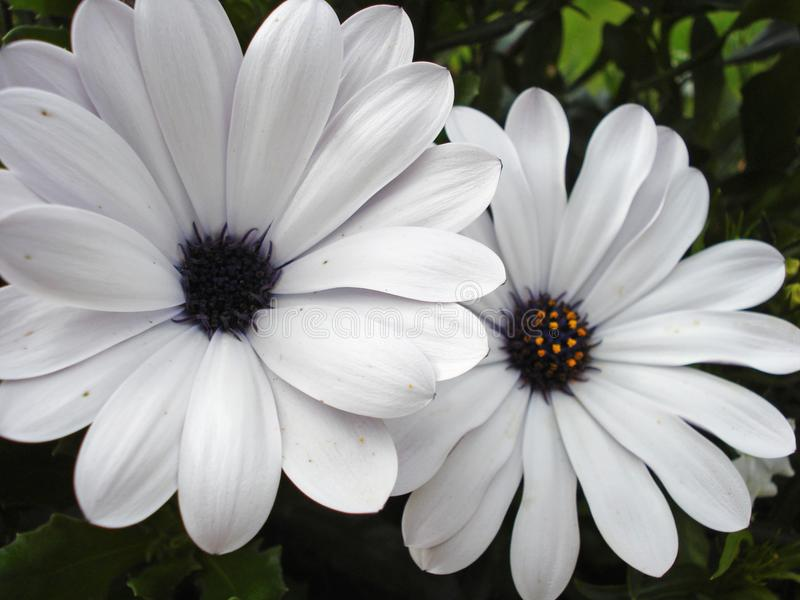 Pale Purple Daisies. In Mothers Garden in Alaska 2011 royalty free stock photography